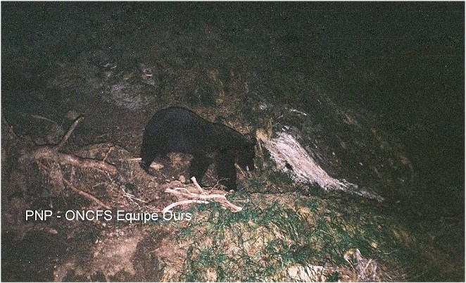L'ours Cannellito, en 201O - photo PNP-ONCFS